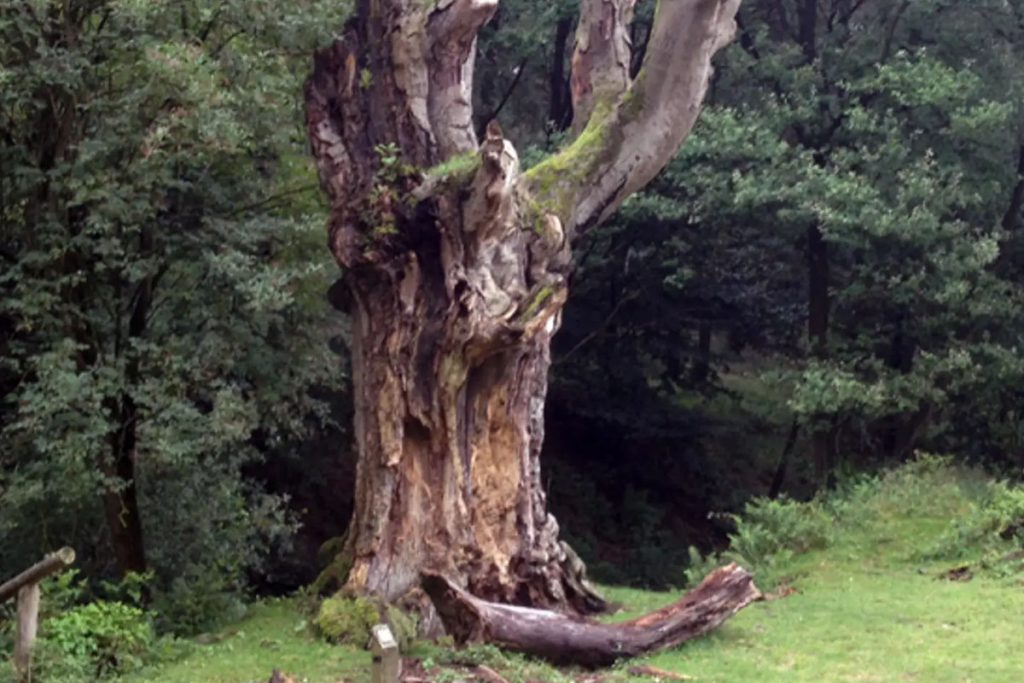 The hollow tree of Hoog Soeren